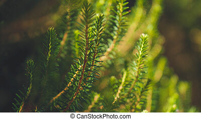 Toned image of fir tree branches in the forest