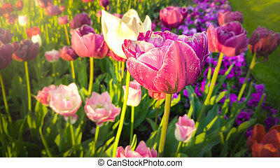 Toned photo of beautiful pink and white tulips at early morning