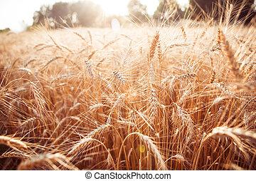 Toned photo of rye field in summer