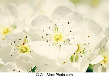 toned, stil, Fyllda, körsbär, blomma, speciell, blomma, Årgång, foto