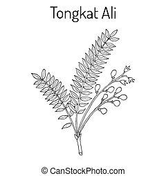 Tongkat Ali Eurycoma longifolia , or Pasak Bumi, medicinal...