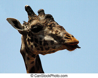 Tongue Sticking Out of the Mouth of a Giraffe