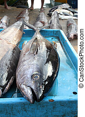 tonhal,  fish