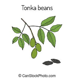 Tonka beans Dipteryx odorata , aromatic and medicinal plant