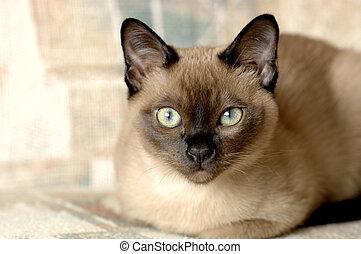 Tonkinese Cat - A purebred Tonkinese male kitten. Focus =...
