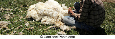 Ciseaux tonte antiquit mouton isol scissors blanc for Tonte pelouse tarif