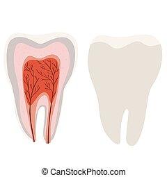 tooth., 切り口, 隔離された, 歯, 図, バックグラウンド。, ベクトル, テンプレート, 白, 構造