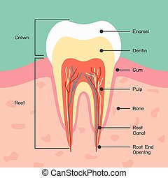 Tooth anatomy, vector