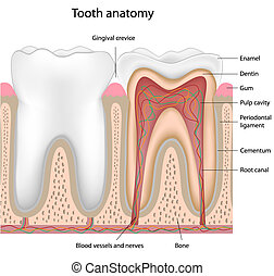 Tooth anatomy - Cross section of a human tooth, eps8,