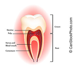 Tooth anatomy. Detailed diagram. Beautiful bright colors