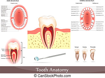 Great collection of tooth anatomy diagrams. Beautiful bright colors. Adult dental chart and children dental chart.