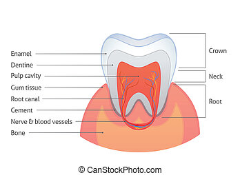 Tooth anatomy - Isolated illustration of a tooth section