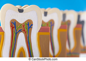 Tooth -  Anatomy of the tooth