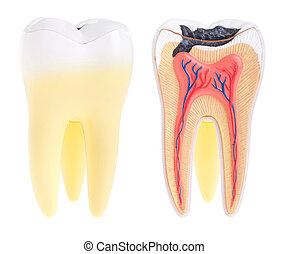 Tooth anatomy - tooth anatomy (vital tooth, structure, bone...