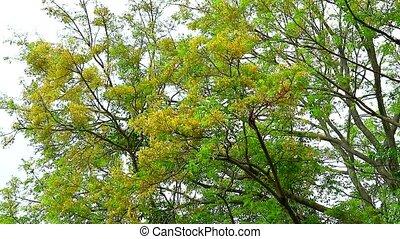Tooth brush tree, Siamese rough bush, Streblus aspera Lour ...