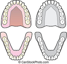 Tooth Chart - Diagram of the human teeth