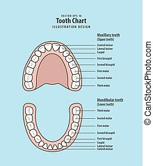 Tooth chart infographic illustration vector on blue background. Dental concept.