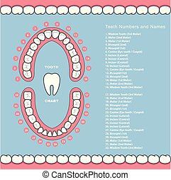 Tooth chart with names - dental infographics, teeth in jaw
