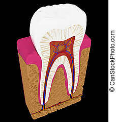 Tooth cut or section isolated over black background