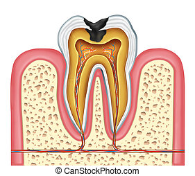 Tooth inner anatomy of a cavity