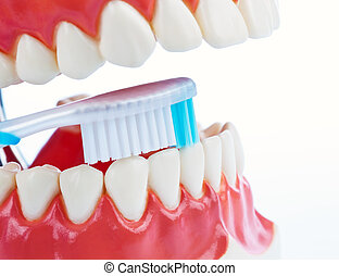 Tooth model with a toothbrush when brushing teeth