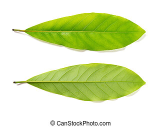 top and bottom of a fresh green leaf on white background