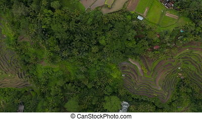 Top down birds eye overhead aerial view of multiple terraced paddy rice fields on the side of the hill in a tropical area