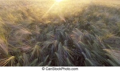 Top down view of golden wheat gently swaying in breeze.