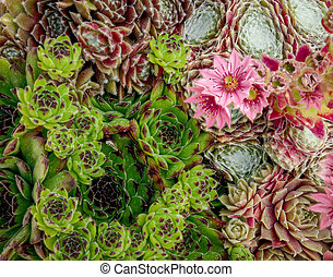 Top down view of semperivum plants in flower