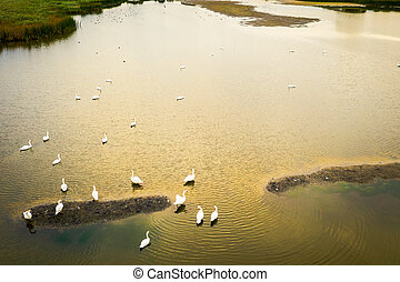Top down view on floating swans.