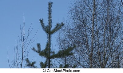 Top of a fir-tree in the wind video