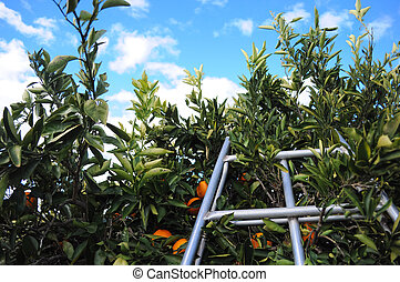 Top of a ladder in orange tree