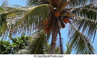 Top of a palm tree with coconuts