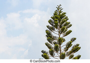 Top of araucaria chilensis tree in the blue sky