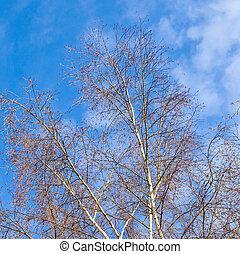 Birch tree under blue sky