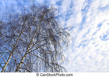 Top of birches against a blue sky with white clouds