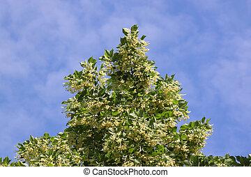 top of linden tree