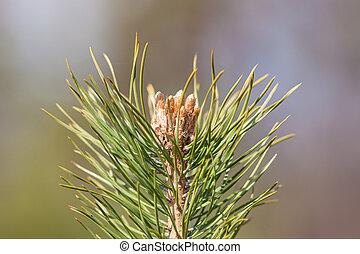 top of pine