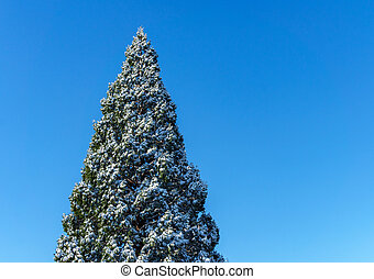 top of pine tree covered in snow isolated on blue sky at sunny day.