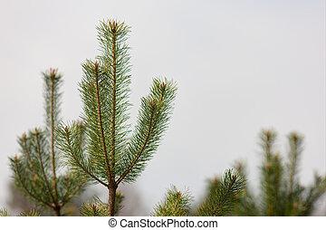 top of pines