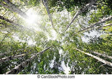 top of summer birch trees
