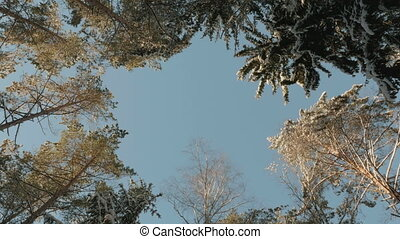 Top of the snowy trees