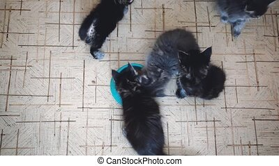 Top of view cute litter of Maine Coon kittens eating healthy cat food from a bowl together on the floor of a kitchen.
