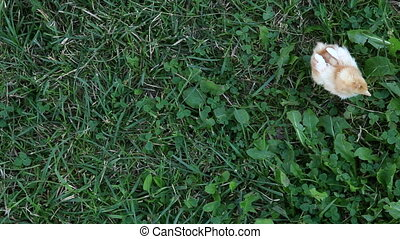 Top shooting of little chicks - Chick walking on the grass...
