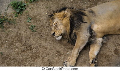 African lion sleeping on a hot summer day.