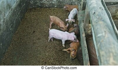 top view at many small domestic pink and ginger piglets play together next to brown hairy sow sleeping in dirty farm swine paddock
