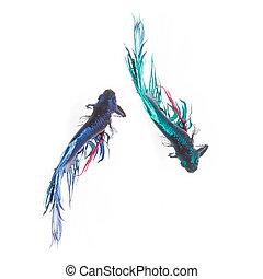 Top view, Betta fish, siamese fighting fish, betta splendens isolated on white background