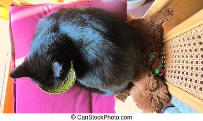 top view cat eating pet food - top view of a black domestic...