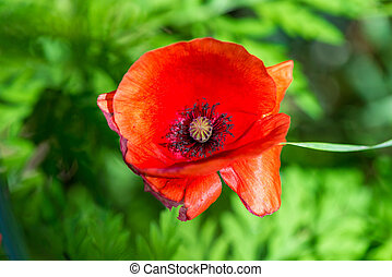 top view close-up of a red poppy flower on a green background in the field