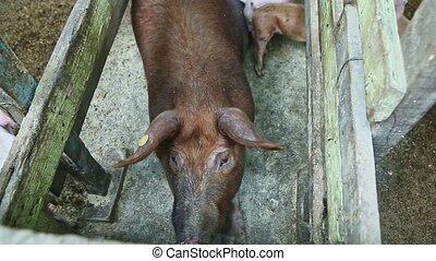 top view closeup at ginger hairy domestic sow rest in dirty ...